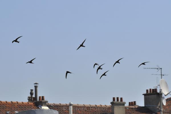 Common Swifts