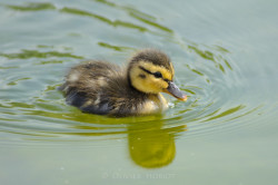 duckling in the Tuileries gardens