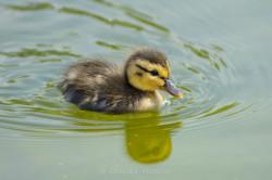 duckling in the Tuileries gardens