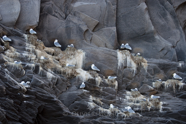 Colony of Black-legged Kittiwake