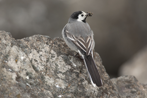 White Wagtail with the beak full