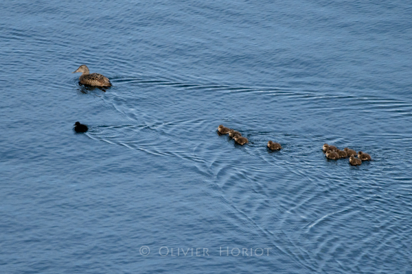 Female Eider and ducklings