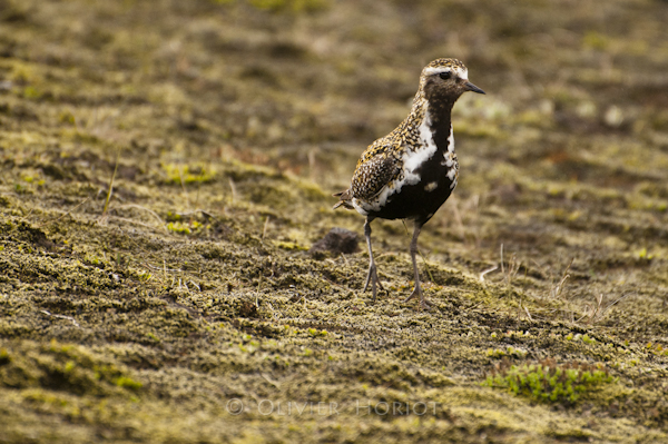 Golden plover in Landmannalaugar