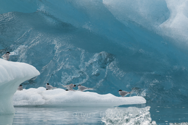 Arctic terns resting on floating ice in Jökulsarlon