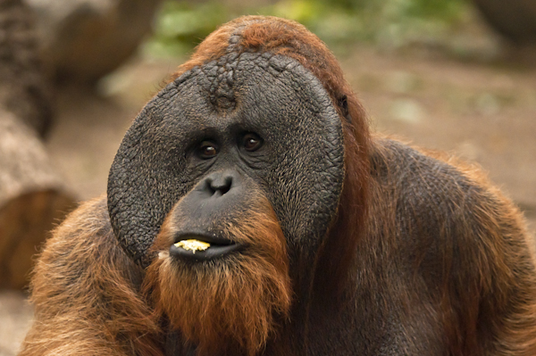 Sumatran Orangutan at the zoo of Hamburg. Only a few thousands survive nowadays in the wild.
